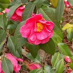 A camellia in bloom.