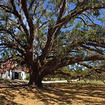 One of several 300 year old Live Oaks on their grounds