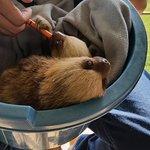 Feeding baby sloths goat milk