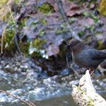 An American Dipper by Little Spearfish Falls