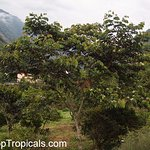 Ice Cream Bean Tree