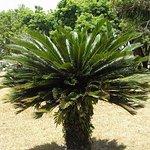 Sago Palm or Cycad