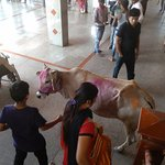 Cow inside the temple