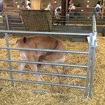 Cute little calf at Odds Farm Park.