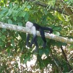 White Faced monkey on the river tour