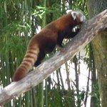 Le panda roux