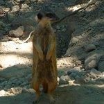 Un suricate à l'affût!