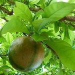 frutos en sus arboles