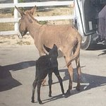 Small wild donkeys.