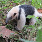 Anteater next to trail