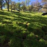 Cattle roaming the fields
