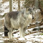 Wolf staring at crowd looking for lunch!
