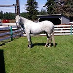 Muchacho after his bath at Whitemud Equine Centre