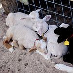 Baby lambs at the Living History Farm