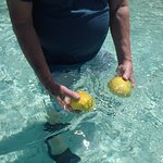 Frozen mangos defrosting in the lagoon