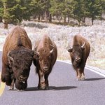 Bison roaming on the road