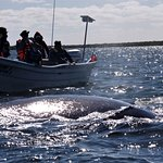 Magdelena Bay gray whale and baby