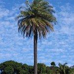 Botanic Garden palm with stunning sky.
