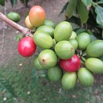 """The coffee """"cherry"""" which holds the seed, or bean."""