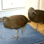 just saying hello ....our friendly endangered woodhens.