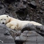 Polar bear sighting on the boat trip to Pyramiden