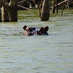 Hippo in Lake Baringo