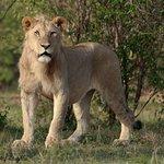 Sub-Adult Lion.