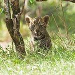 Male Leopard Cub.