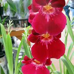 a red orchid