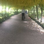 laburnum arch in full bloom