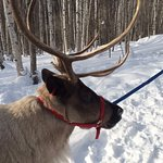 Olive, one of the friendly reindeer at Running Reindeer Ranch.