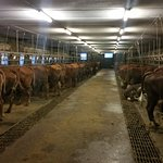The Fromagerie cowshed.