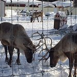 Reindeer lock horns at Santa Clause house.