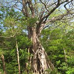 Tree at Rincon