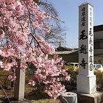 毛越寺門前の桜