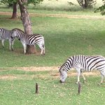 Zebra are not too concerned about your presence