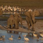 Elephant clearing the waterhole of pelicans in Tarangire National Park