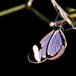 Glass Winged Butterfly - Ventanita / Mariposa Alas de Vidrio - Family Ithomiinae - Photo Enfocus