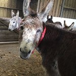 This is one of the very aged donkeys, Henry Too, who lives with others of his kind. He poses.