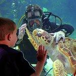 Denver, the loggerhead sea turtle visits with a diver and aquarium guest.