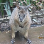 Marsupial at the Zoo