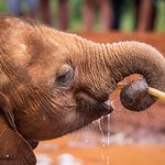 The baby elephant drinking water.
