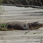 zoom lens captured this gator