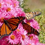 Monarch butterflies making their trip south in the fall.