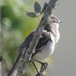 Cute Mockingbird