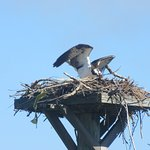 The Osprey's Nest