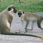 Barbados Wildlife Reserve Resmi