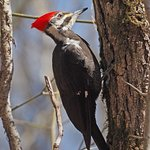Pileated Woodpecker along the Universal Trail