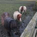Feeding the ponies at the back gate