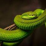 Green tree python at Reptilia